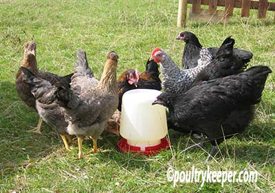Chickens Having A Drink