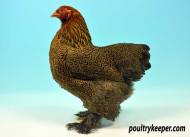 Gold Pencilled Brahma Female