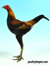 Black Red Modern Game Bantam Male