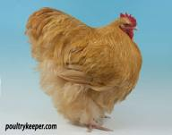 Buff Orpington Male
