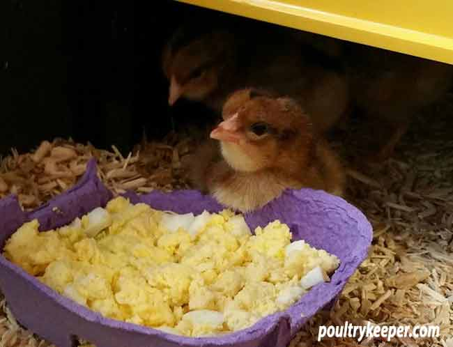 Feeding Chicks Egg