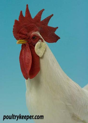 Head of White Leghorn