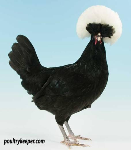 White Crested Black Poland