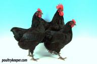 Trio of Black Australorp Bantams