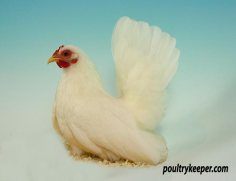 White Japanese Bantam Female