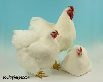 Trio of White Wyandotte