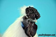 Comb of White Silkie Male