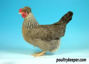 Cream Legbar Female