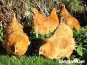 Lincolnshire Buff Hens scratching in the garden