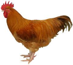 Lincolnshire Buff Chicken