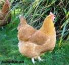 Lincolnshire Buff Female