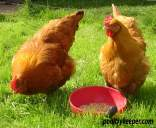 Lincolnshire Buff Hens