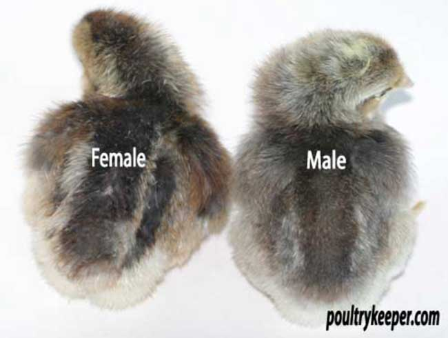 how to sex a newborn chick