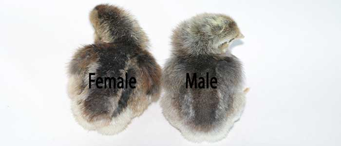 how to tell guinea fowl gender