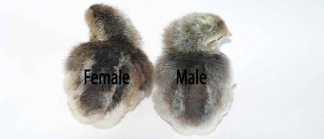 Autosexing Cream Legbar Chicks