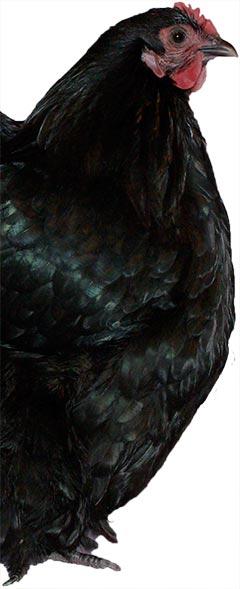Black Orpington
