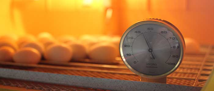 Correct Humidity for Hatching Duck Eggs