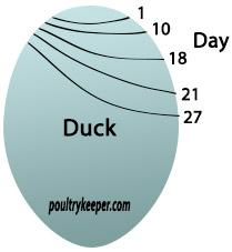 Duck Egg Air Sac Development