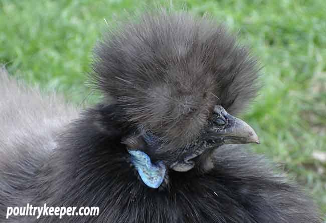 Head of Blue Silkie
