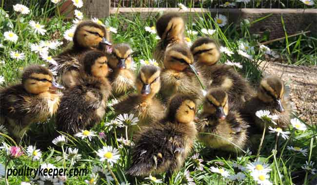 Rescued Mallard Ducklings