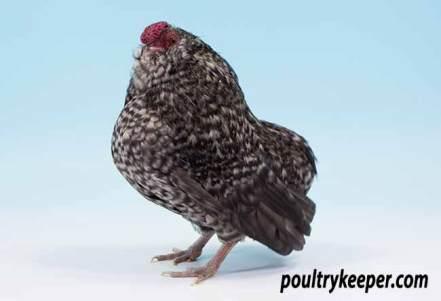 Cuckoo Belgian Bantam D'Grubbe