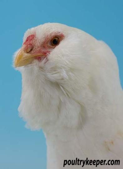 Head of White Orloff Bantam