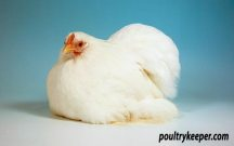 White Pekin Bantam Female