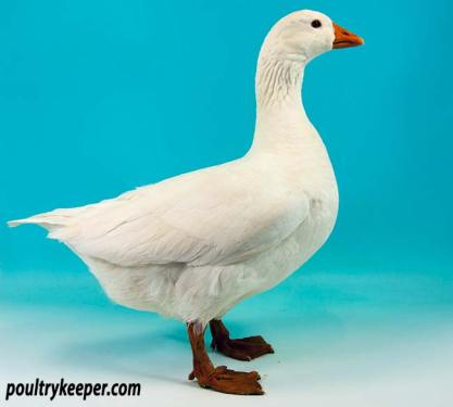 Czech Goose Female