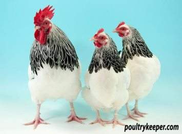 Light Sussex Bantam Trio