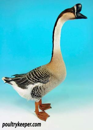 Grey Chinese Goose