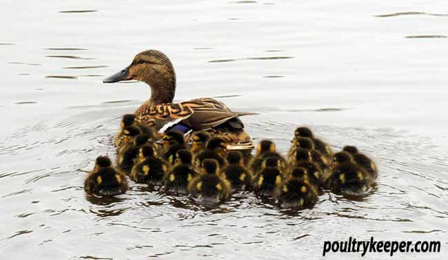 Imprinted Ducklings Follow Mother