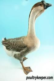 African Goose