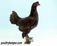 Black Breeda Fowl