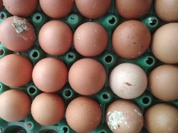 dyspepsia in poultry