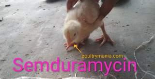 Samduramycin for poultry