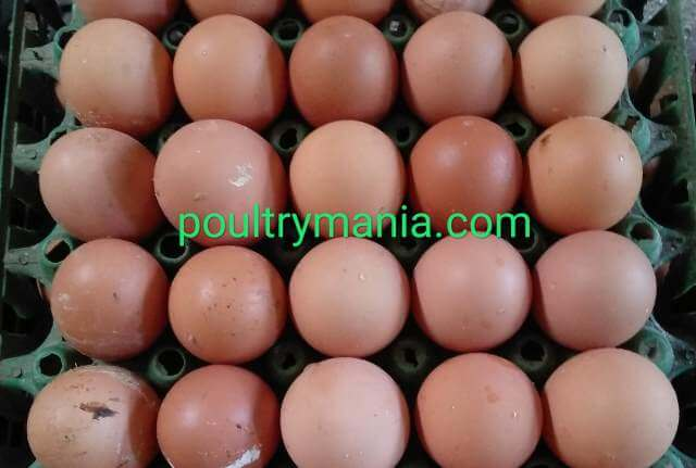 eggs from Hy-line brown laying birds