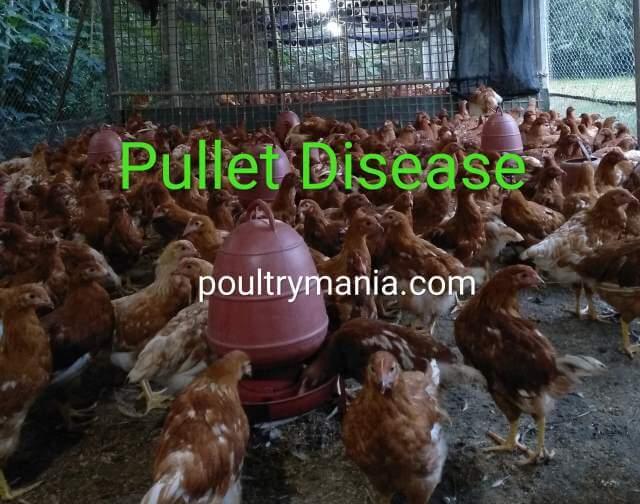 pullet disease in poultry