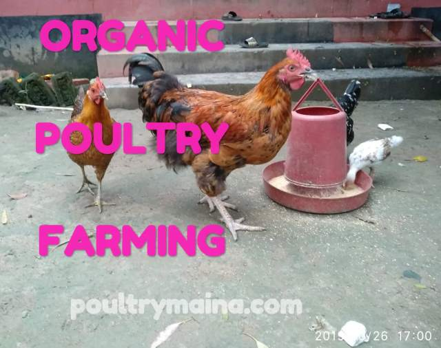 Organic chicken farm