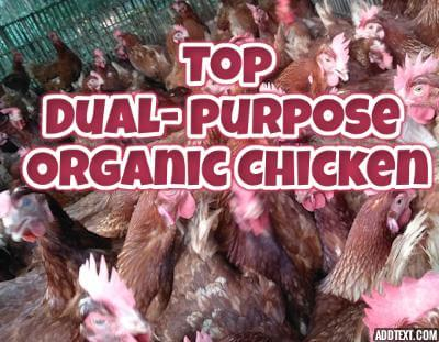 Top dual purpose organic breed