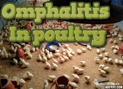 Omphalitis in poultry