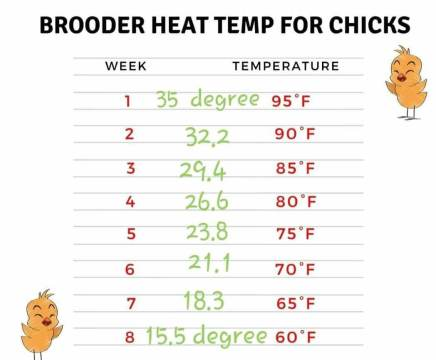 the best brooding temperature chart in chicks