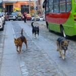 Chiens errants dans Valparaíso
