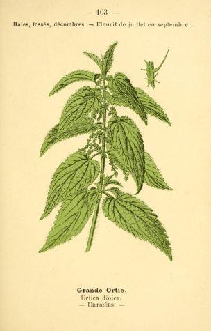 dessin fleurs prairies champs bois grande ortie - urtica dioica