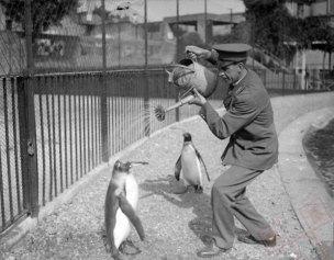 Osvježivanje pingvina u ZOO (1930.)