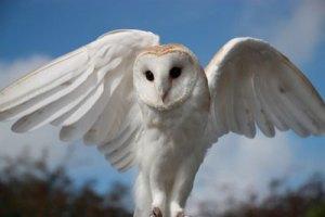 owl-white-400