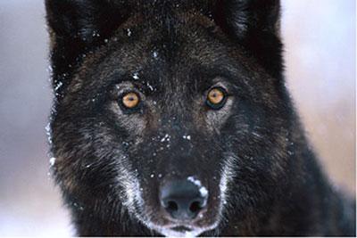 wolf-400