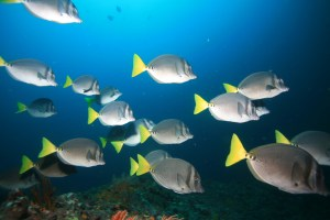 School of Fish, online learning