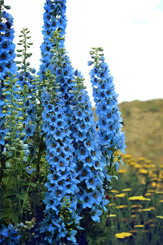 delphinium or larkspur flowers - blue