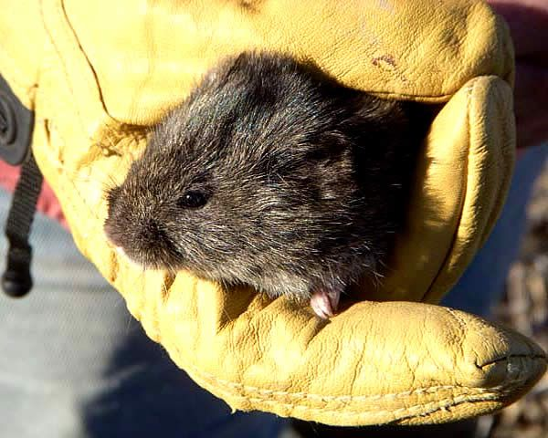 voles in a yellow-gloved hand