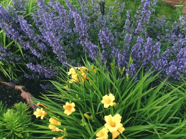 Nepeta is the backbone of any perennial garden.